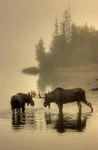 2 Moose (Meese??, Mooses???)