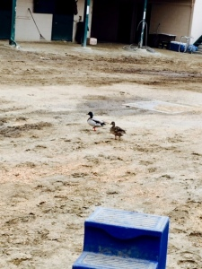 The racetrack ducks...I think they missed their flights north...